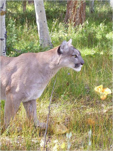 Mountain Lions of Catamount Creek Ranch